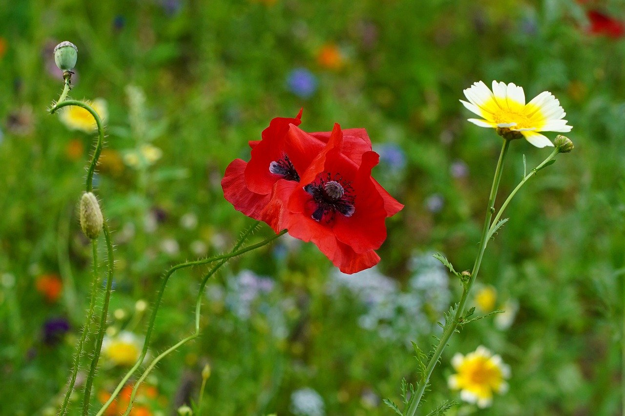 poppy flower, poppy, flower meadow