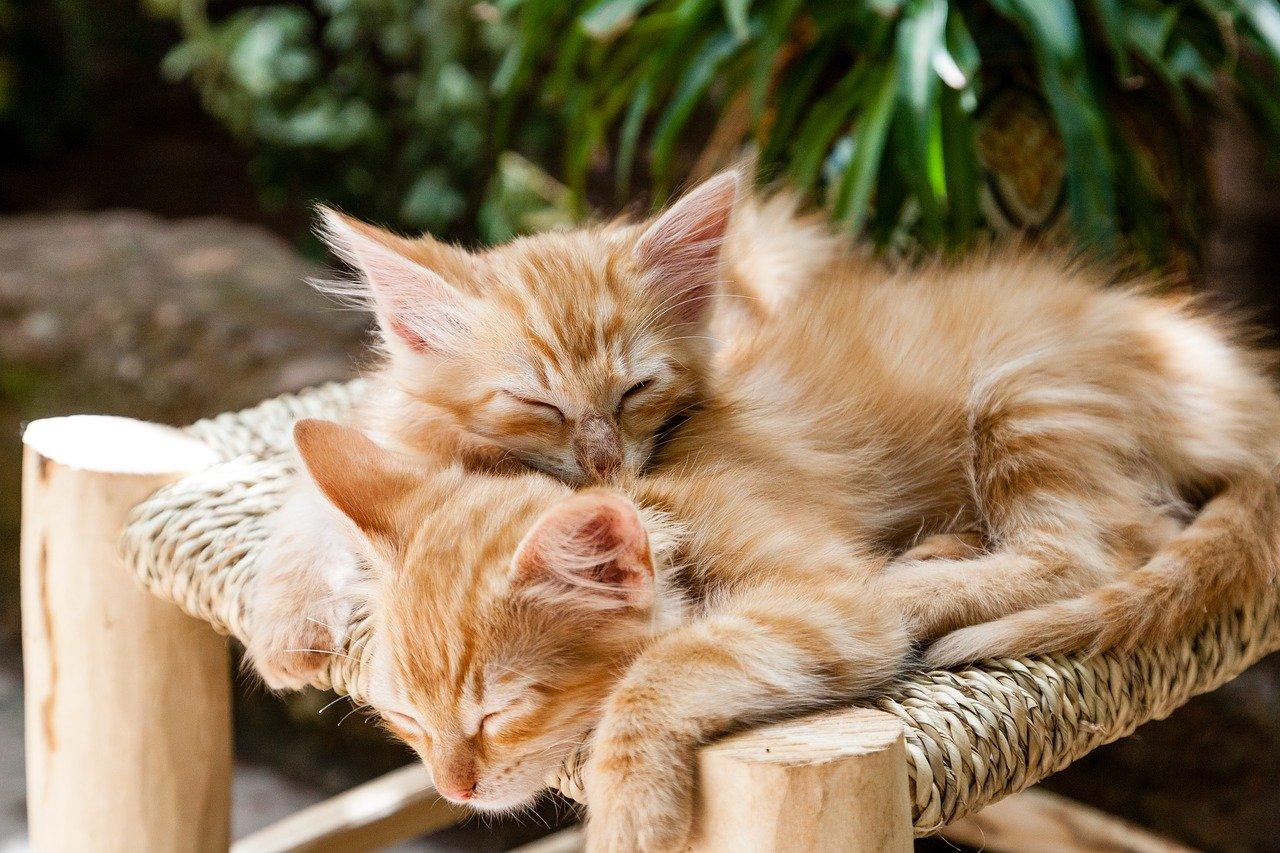 kittens, pets, sleeping-1916542.jpg